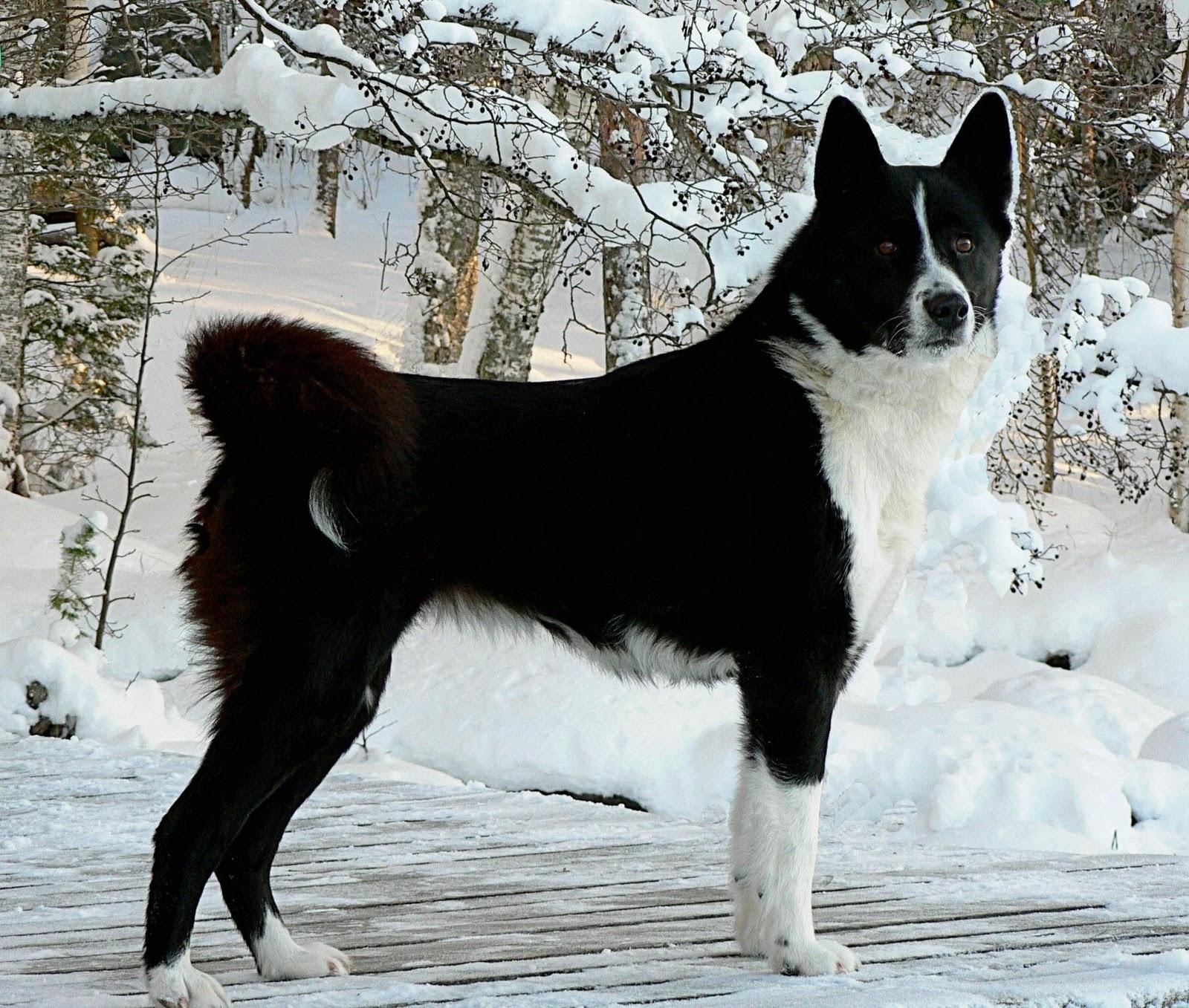 Tahltan Bear Dog For Sale