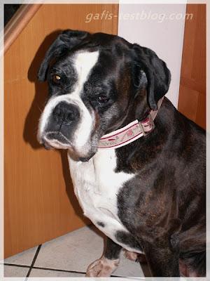Boxer Ivy mit Halsband von Wauzi Land
