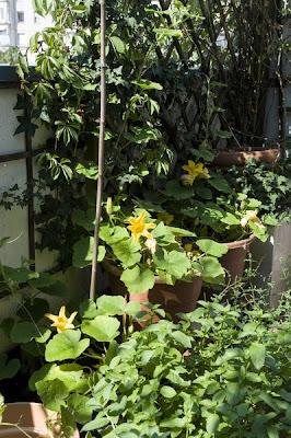Hokaido buče rastlina