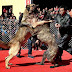 Dog fighting in China is part of their entertainment,…