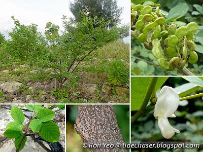 Horse Bush (Dendrolobium umbellatum)