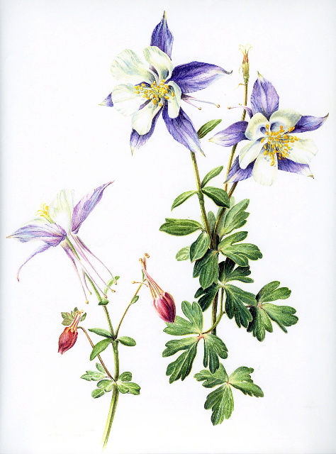 Columbine Flower Line Drawing : Botanical illustration june