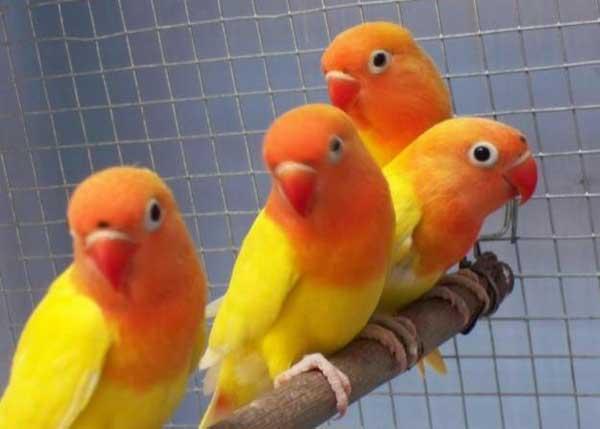 Lovebird Pastel Kuning - Aneka Jenis Burung Lovebird