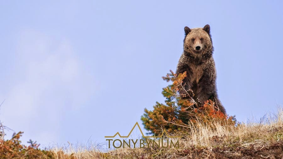 grizzly bear standing up against a fir tree
