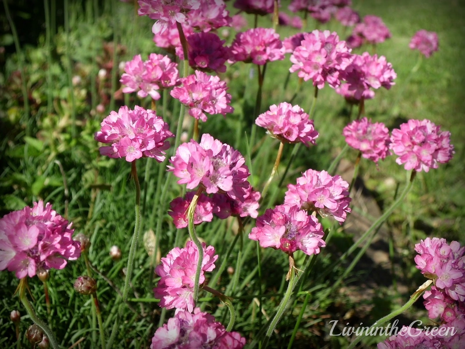 Livin In The Green Perennials For Your Garden Armeria Sea Thrift