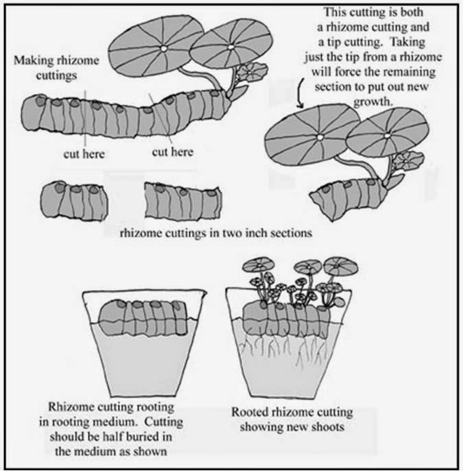 Propagação de begónia rizomatosa - Plantas