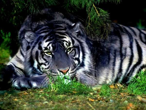 Amazing World: The Rarest Blue Maltese Tiger