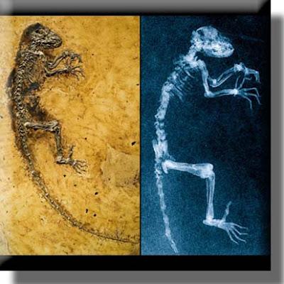 Darwinius skeleton