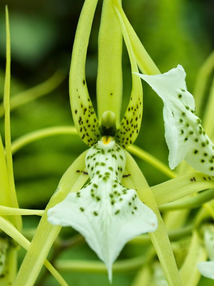 Brassia Verrucosa Orchid