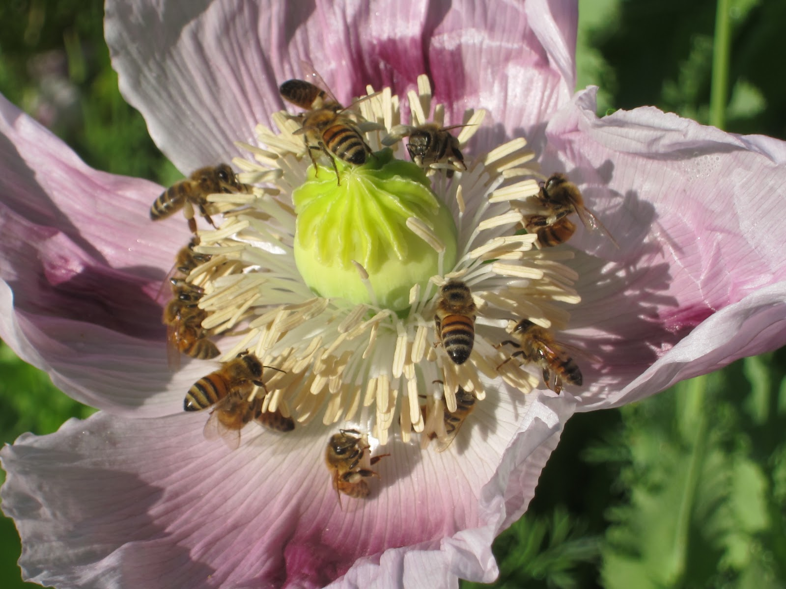 bees and poppies