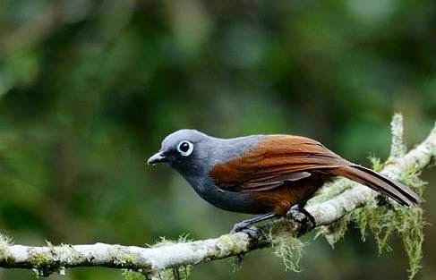 Foto Burung Poksai Terbaik
