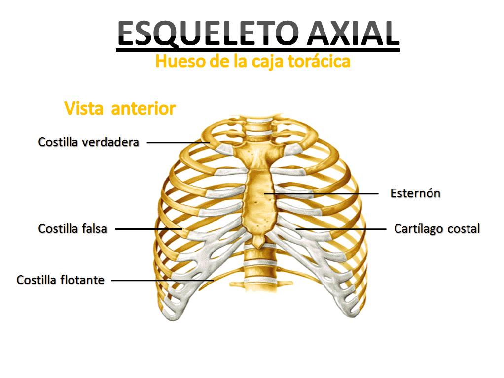 Increíble Caja De Huesos Anatomía Bosquejo - Anatomía de Las ...