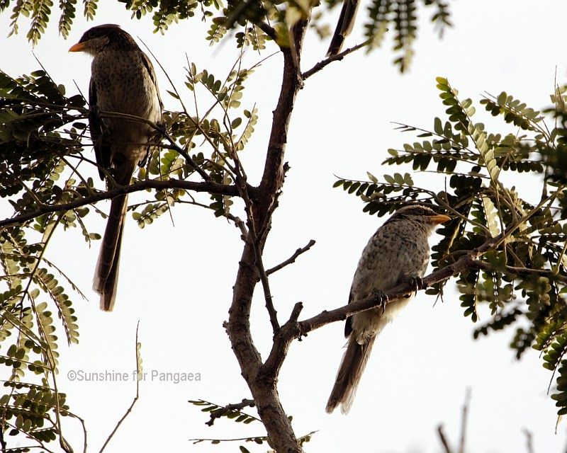 Yellow-billed Shrike (Corvinella corvina) in Gambia.