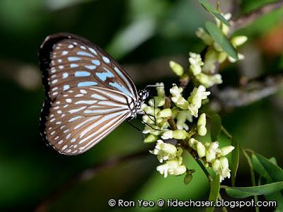Blue Glassy Tiger (Ideopsis vulgaris macrina)