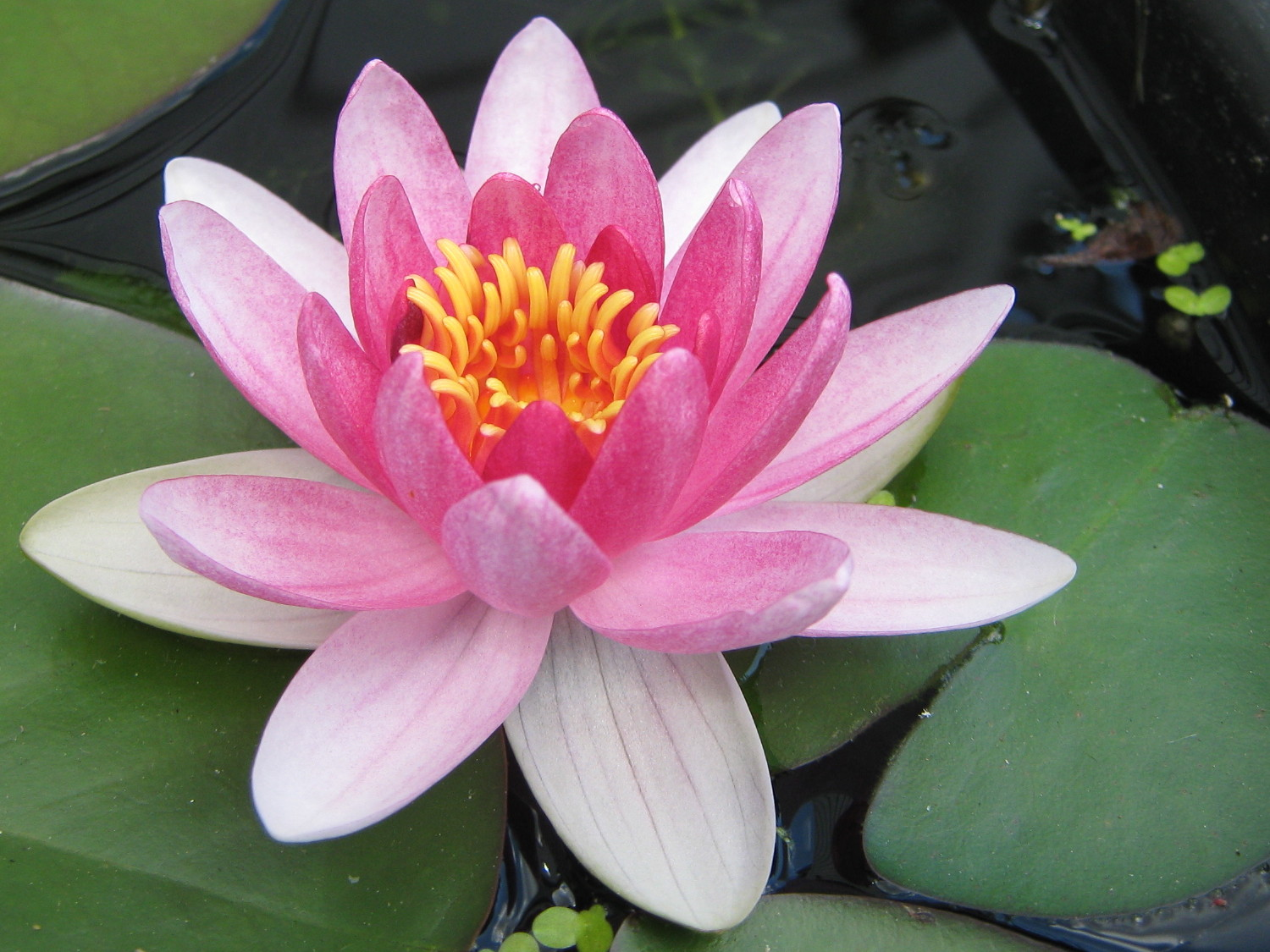 Information about the water lily beautiful flowers in the world information about the water lily izmirmasajfo