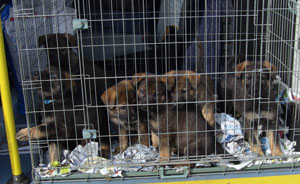 All puppies in their cage in the back of a police dog van