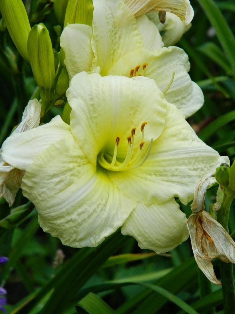 Joan Senior Hemerocallis daylily by garden muses-not another Toronto gardening blog