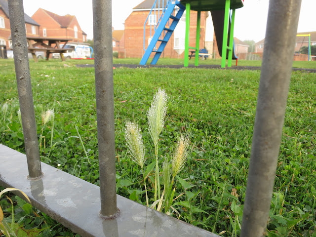Wall Barley ripening under Park Railings