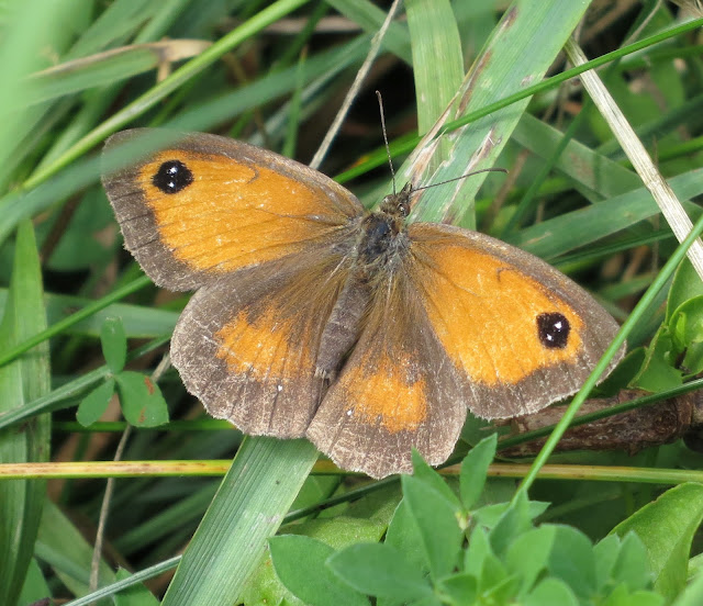 Gatekeeper (Pyronia tithonus) butterfly on blade of grass.