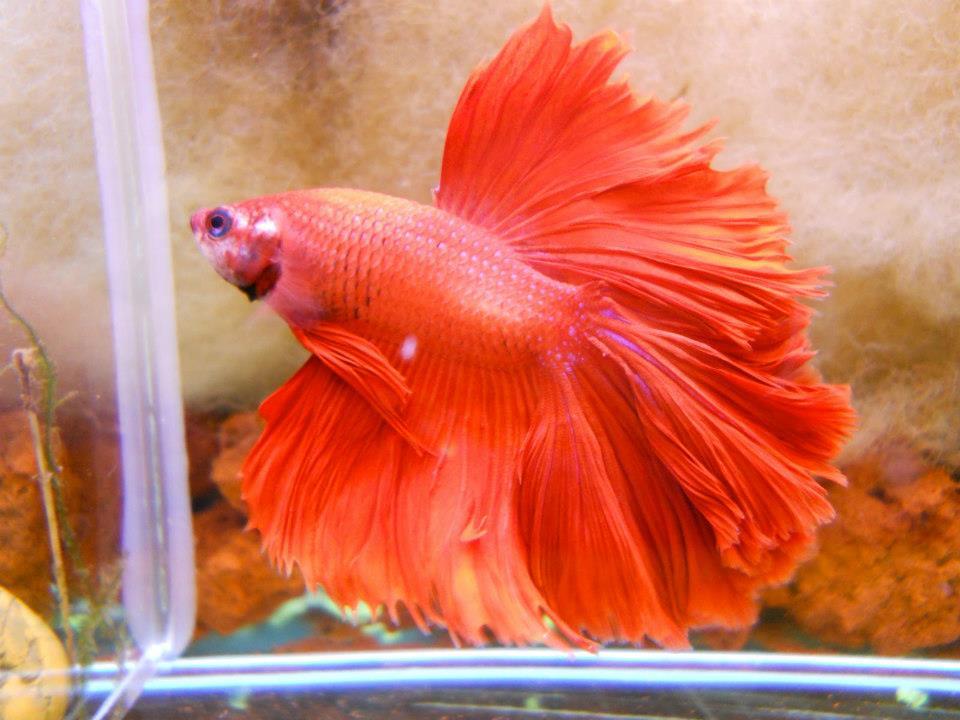 Breeding and raising betta fish betta fish questions for Betta fish bubbles