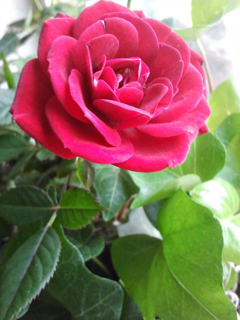 Valentines Tea Roses