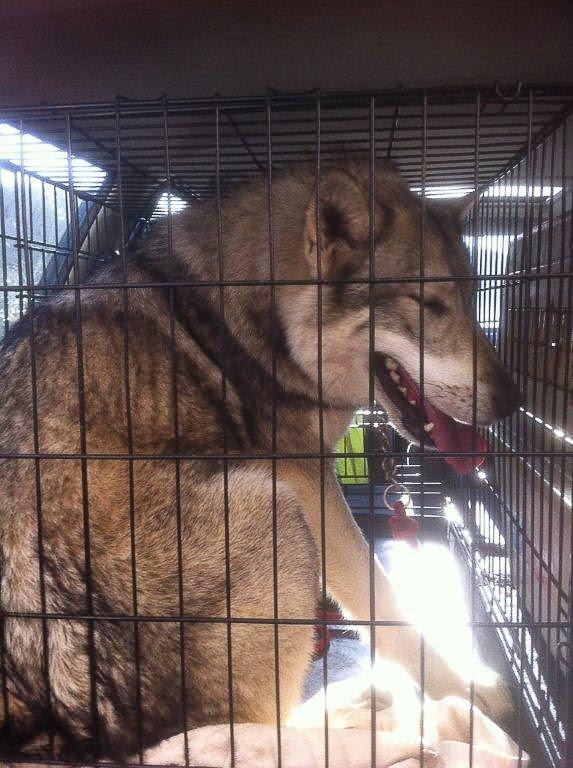 Canes Africae chiens loups de saarloos