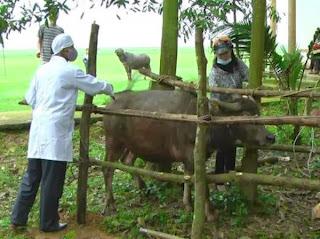 Tiêm phòng cho trâu bò.