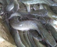 Catfish Fish Health Benefits for Body