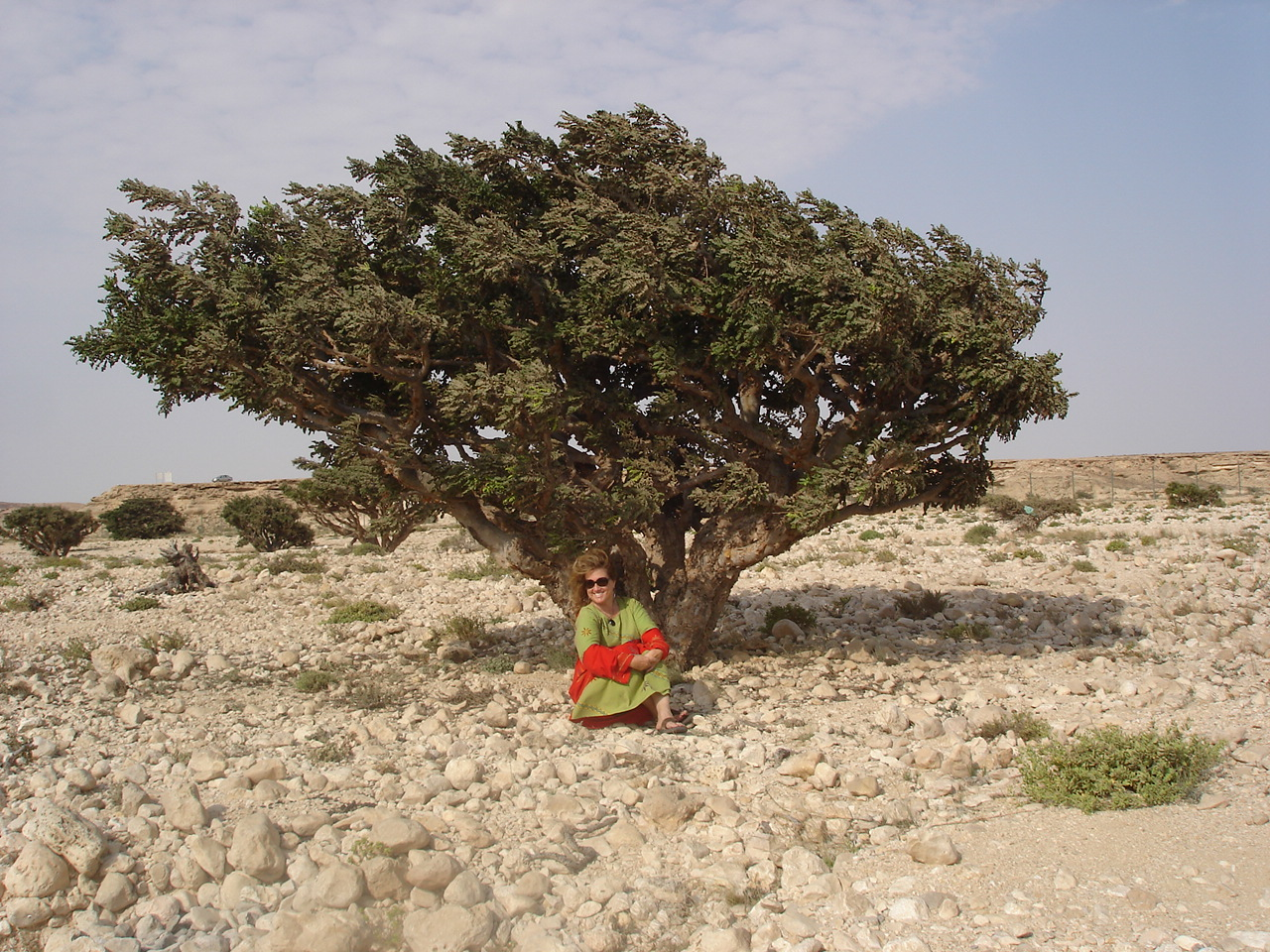 Frankincense Tree Growing Frankincense Tree in Oman