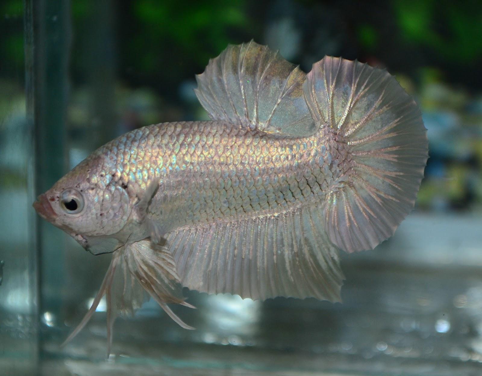 Betta fish afira betta hmpk new 16 disember 2012 for Pictures of betta fish