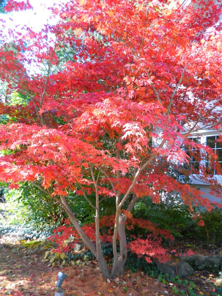 Acer palmatum Bloodgood Japanese maple autumn colour by garden muses-a Toronto gardening blog