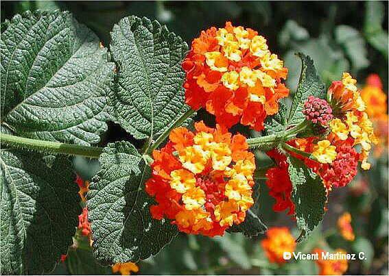 Plantas e flores lantana e nerium for Arbustos de exterior resistentes