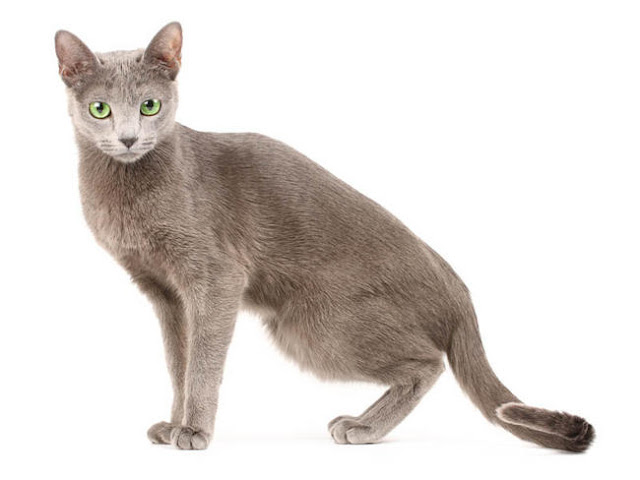 Russian Blue cat, mysterious cat, friendly cat, Frances Simpson, cat breeds, cats breed,