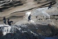 Flightless Cormorants at Tagus Cove, Isabela Island, Galapagos