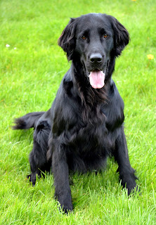 Curly Coated Retriever Dog 4
