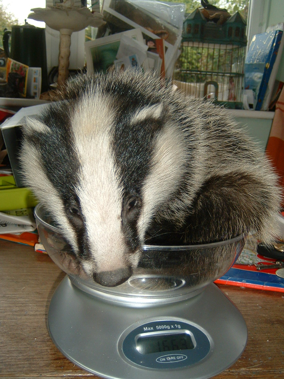Ryedale Wildlife Rehabilitation Badger Cub