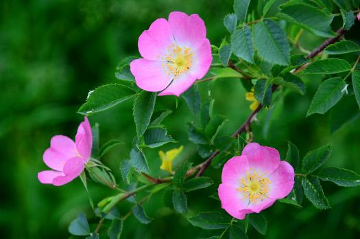 Rosa Silvestre, digestivo natural