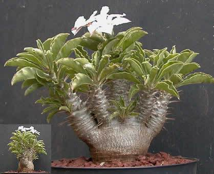 Pachypodium adalah tanaman asli (tanaman endemik) di Pulau Madagaskar
