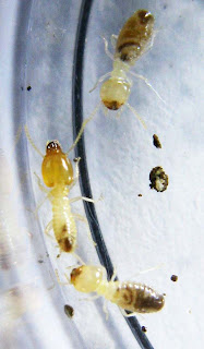 Soldier and workers of Parrhinotermes termite