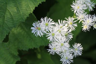 [Ranuculaceae] - Trautvetteria caroliniensis - False Bugbane