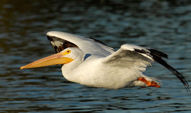 Animales vertebrados el pelicano - Fotos de pelicanos ...