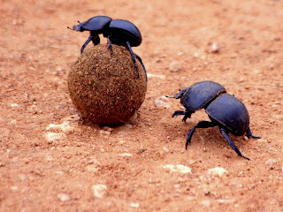 10 dung beetle%2B%25281%2529 10 of the Weirdest Animal Instincts and Behaviors