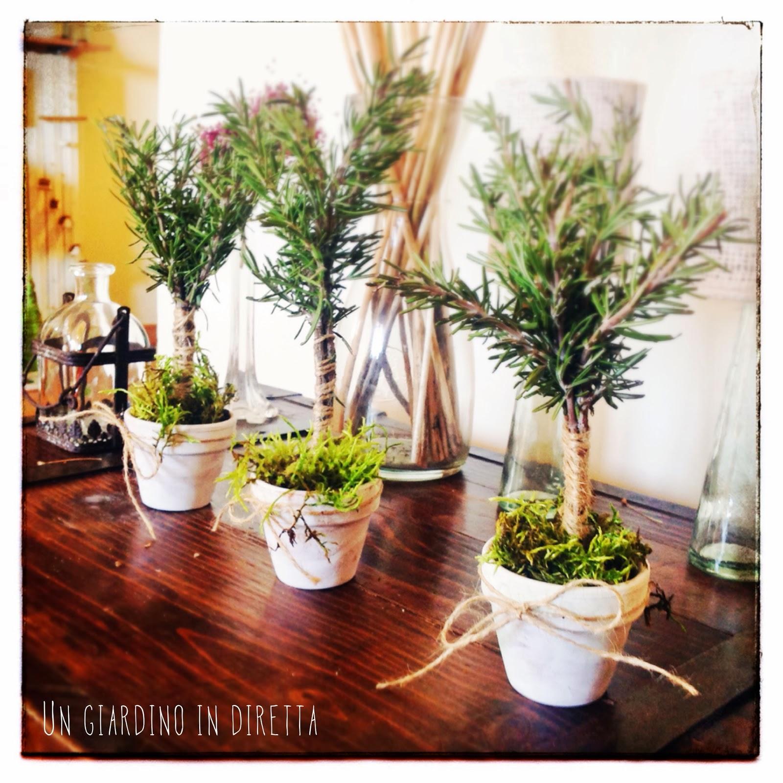 Piccoli alberi di rosmarino per un natale al verde un for Alberelli per giardino