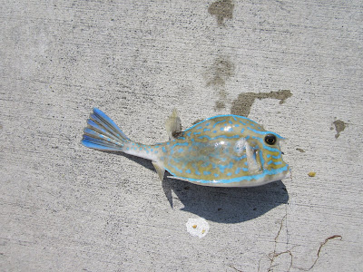 a scrawled cowfish caught in key biscayne