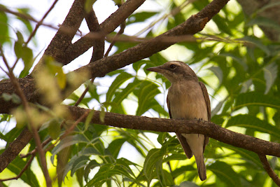A photograph of a Common Woodshrike photographed in Yala, Sri Lanka