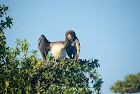 Pelican in Mangrove
