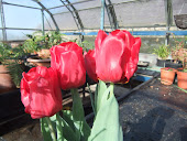 Bright Red Tuliups