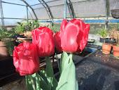 Bright Red Tuliups