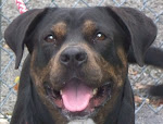 7/11/12 Morgantown WV: Video Rottie (Rottweiler Dog) in need of rescue, waiting for a YEAR!