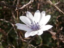Wildflower, Crete, January 2016